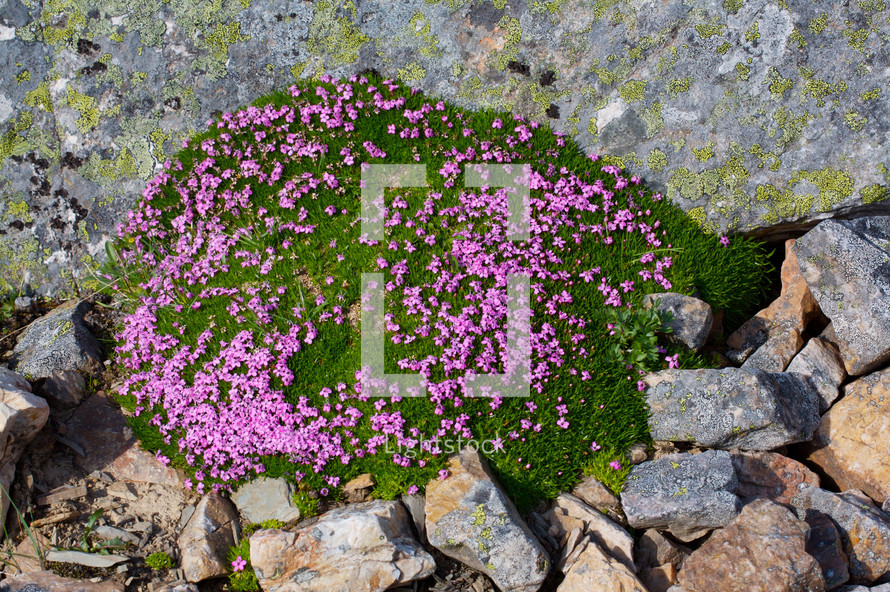 pink flowers growing among rocks.