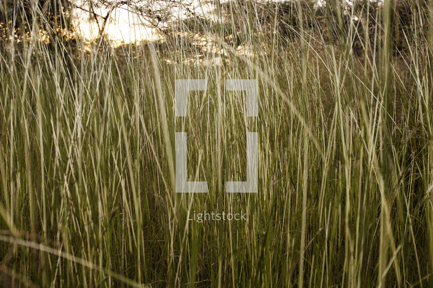 reeds growing in a field in Ethiopia