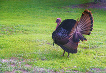 A Wild Turkey fans out his plumage while walking around in a grassy green meadow looking for food in early Spring time.