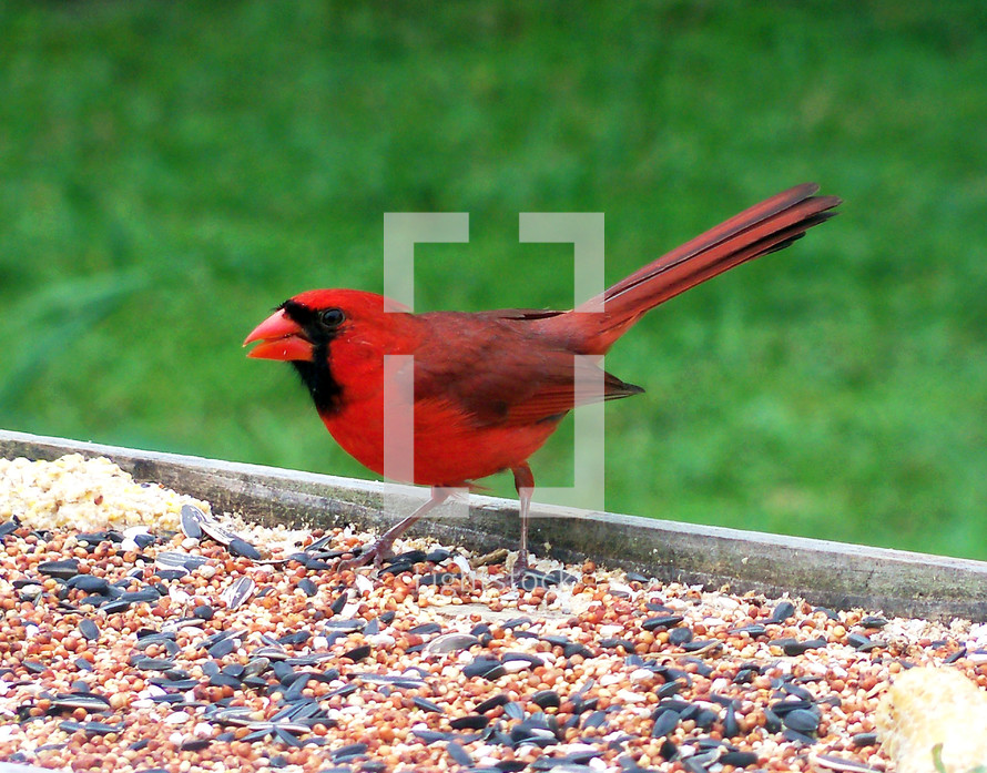 A red cardinal bird eats bird seed at a bird feeder in a backyard against a green grassy background.