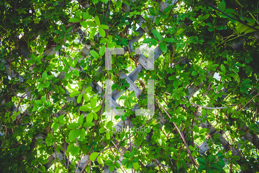 A vine covered wooden trellis.