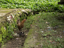 chicken on a farm