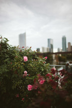knock out roses and distant skyscrapers