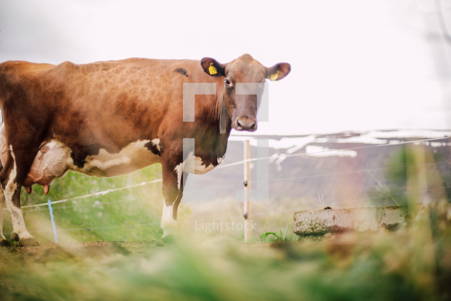 cow with tagged ear