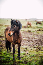 horses in a pasture in Iceland