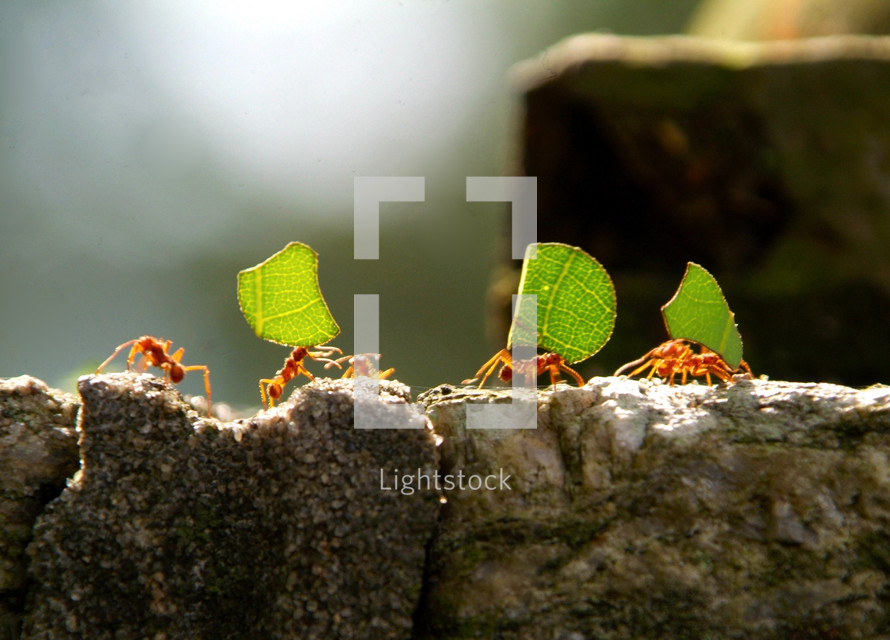 Red leaf cutter ants carrying pieces of green leaves