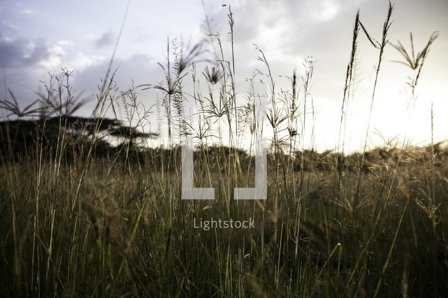 wheat in a field in Ethiopia