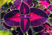 purple and fuchsia leaves