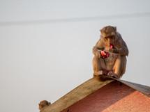monkey eating food