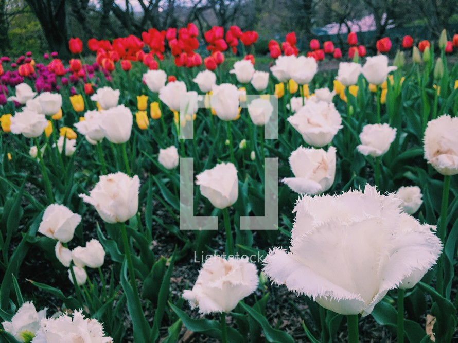 flower bed of spring tulips
