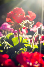 red geraniums in sunlight