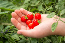cupped hand holding tomatoes