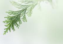 green fir