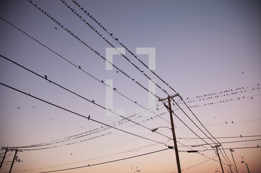 Birds perched on utility lines at dusk.