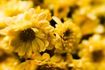yellow mums closeup