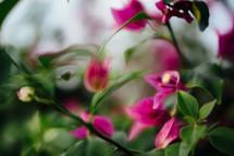 fuchsia flowers on a bush