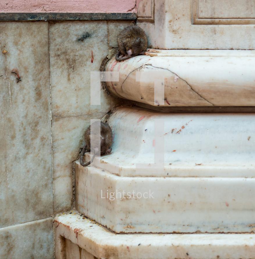 sleeping rats in India