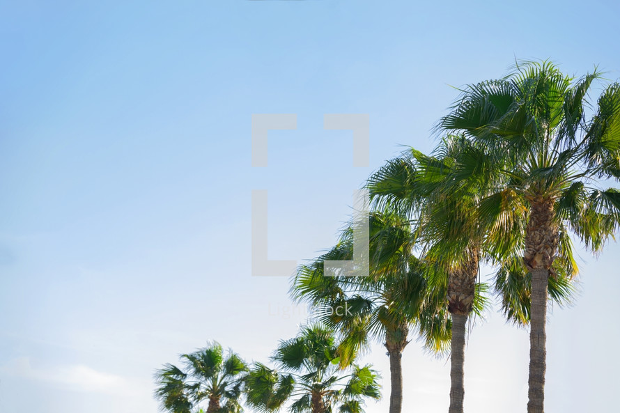 tops of palms trees