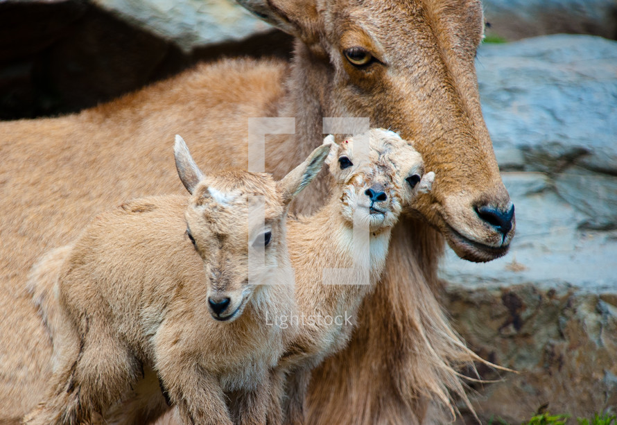 kid goats and mother goat