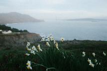 daffodils along a coastline
