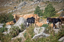 cattle on a rugged mountain landscape