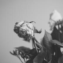 wilting roses