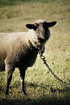 chained sheep