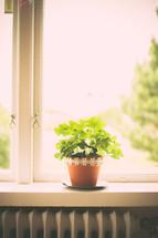 flower pot in a window sill