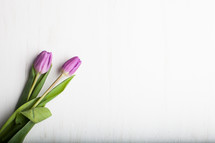 tulips on a white background