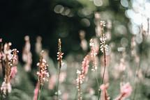 sunlight on tall flowering grasses
