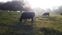 The Cattle on a thousand hills - A group of cows graze together in a grassy meadow while the sun rises in the background in a rural country setting.