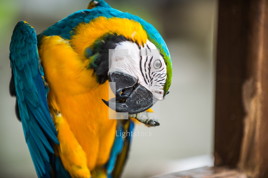 military macaw scratching