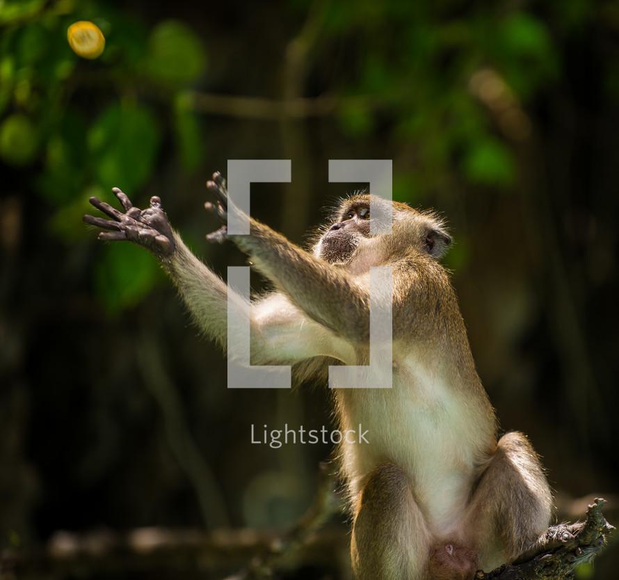 Monkey catching food