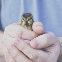 cupped hands holding a duckling
