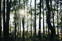 sunburst in a forest