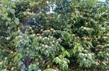honeysuckle in a garden