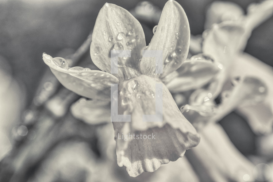 spring daffodil flower with water droplets in black and white