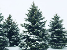 snow on evergreens