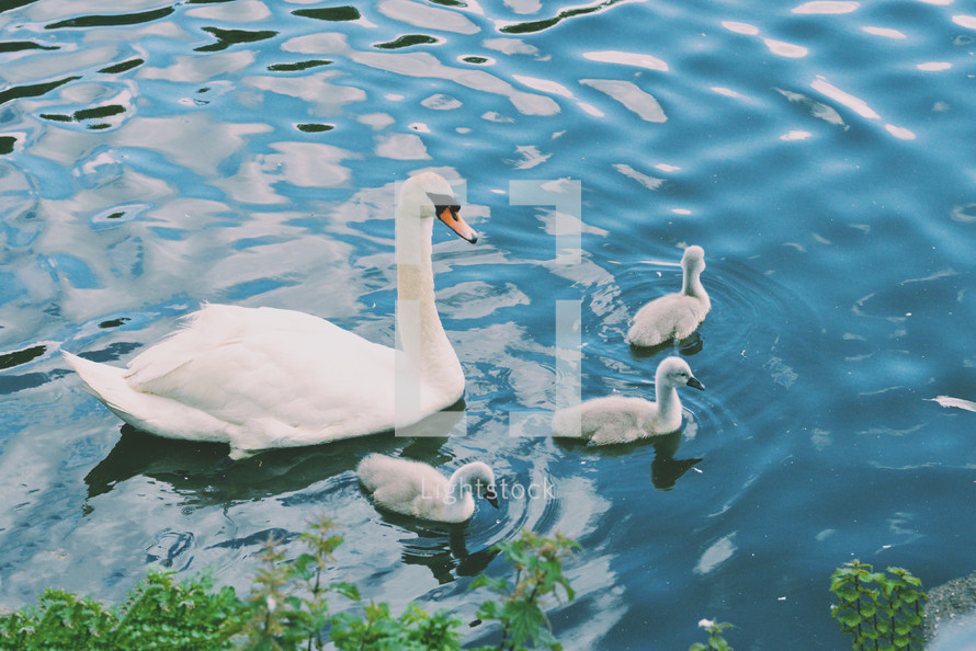 a swan and duckings