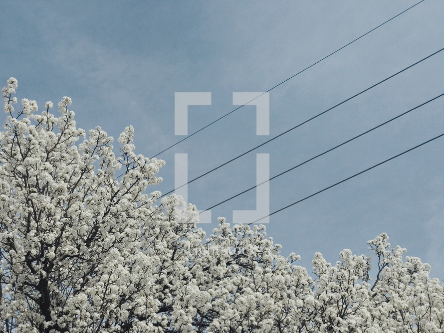 white spring blossoms and power lines