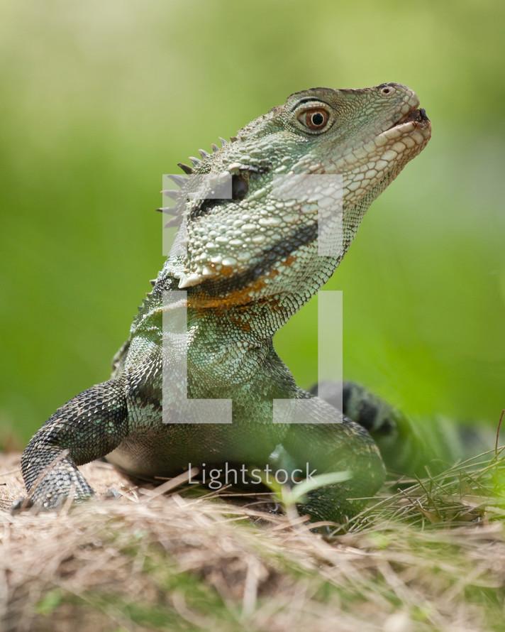 Australian water dragon.