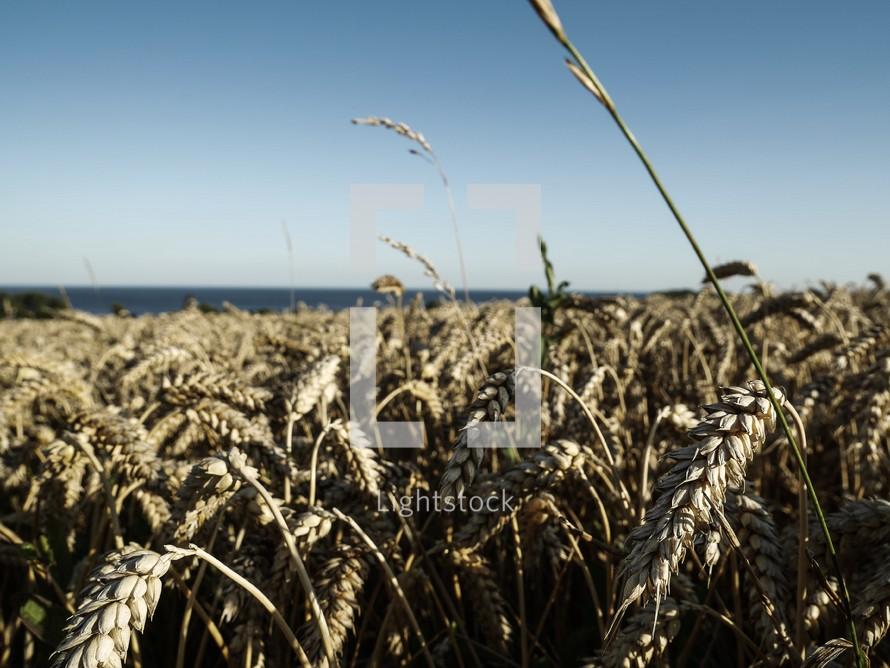 wheat grains in Sweden