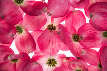 An array of Pink Dogwood flowers on a white background.