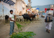 grazing cows on the streets of India