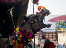 decorated camel in India