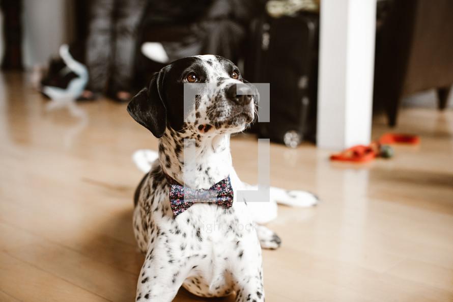 dog wearing a bowtie