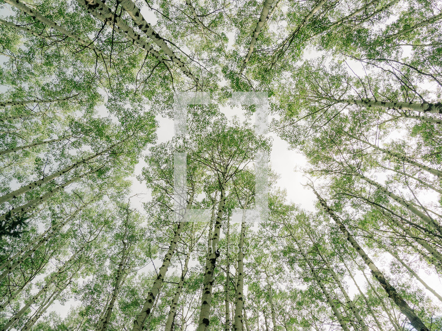 looking up to the tops of tall trees in a forest