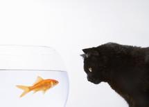 Close-up of a black cat staring at a goldfish