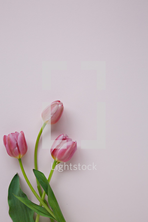 pink tulips on a light pink background with envelope and pen