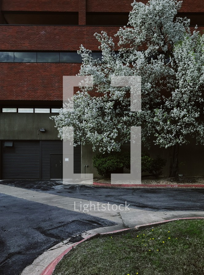flowering spring tree in front of a brick building